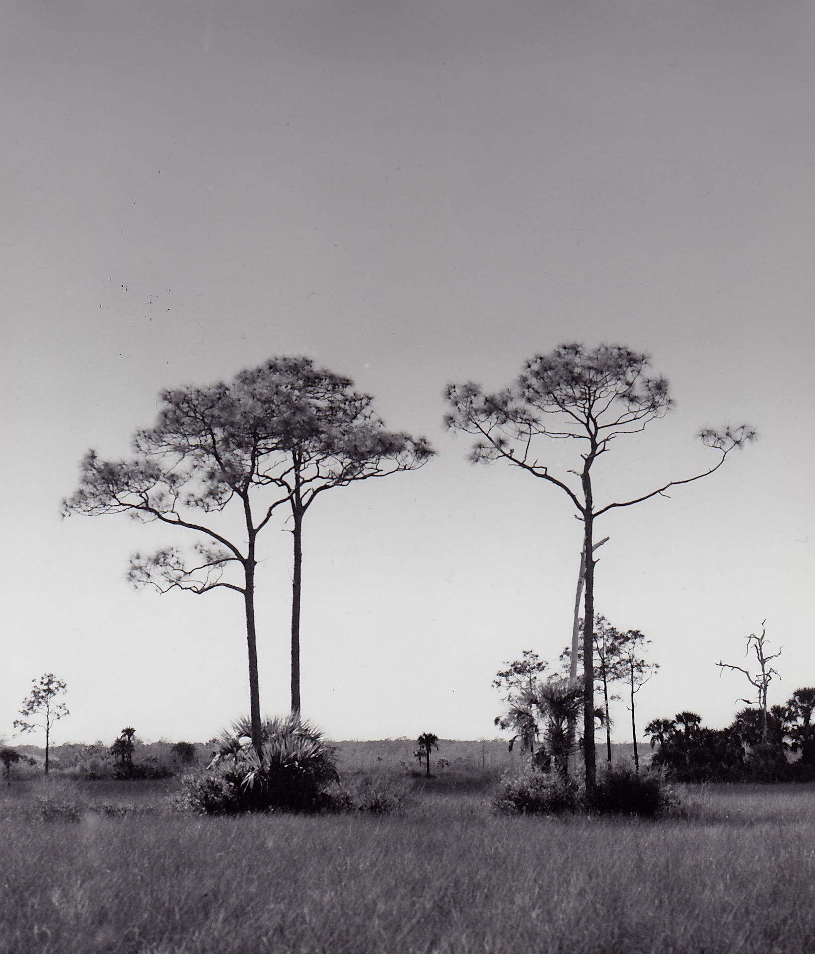 cypress trees photograph