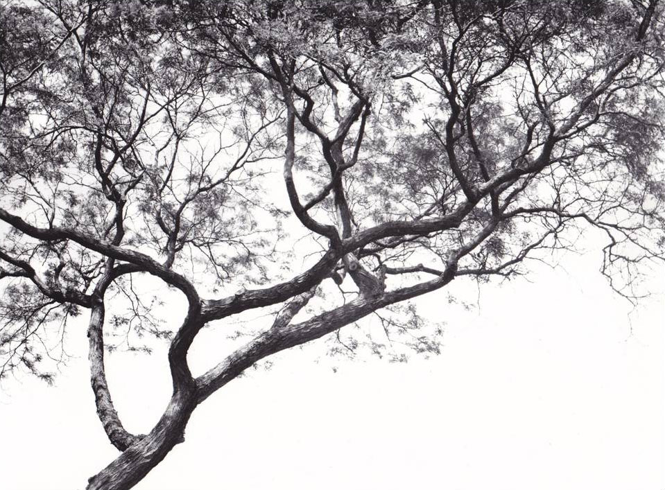 honey locust photograph