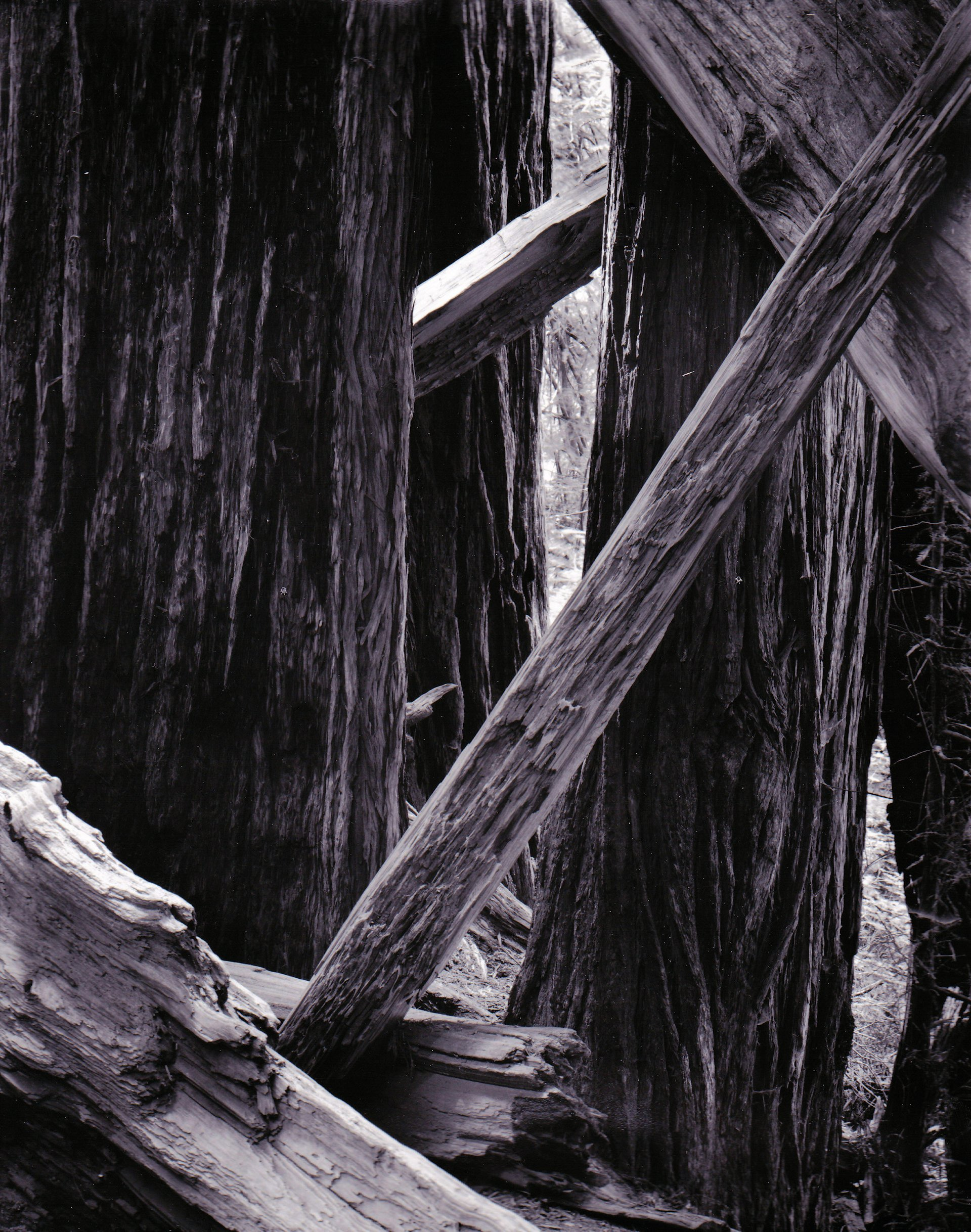 california redwoods photograph